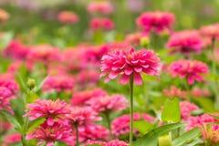 Pink Gerbera, Barberton daisy. The Pink Gerbera , Barberton daisy in the garden royalty free stock photography
