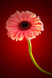 Pink Gerbera in beautiful full blossom, on red , Clipping path included. Royalty Free Stock Images