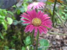 Pink Gerbera Stock Photos