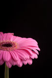 Pink gerbera on black background. Stock Photo