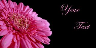 Congratulatory background with a pink  gerbera. Pink gerbera on a black background. Congratulatory background with a pink flower Royalty Free Stock Images