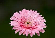 Pink gerbera Stock Photography