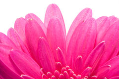 Pink gerbera with black hart. Macro image of a gerbera flower in pink and yellow Royalty Free Stock Images