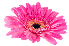 Pink gerbera with black hart. Macro image of a gerbera flower in pink and yellow Royalty Free Stock Photos