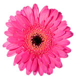 Pink gerbera with black hart. Macro image of a gerbera flower in pink and yellow stock photo