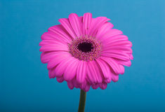 Pink gerbera on blue background. Royalty Free Stock Images