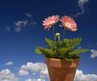 Pink Gerbera blue sky royalty free stock photo