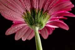 Pink gerbera. Bottom view. royalty free stock image