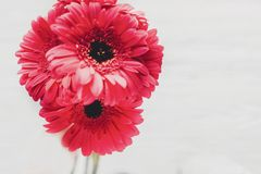 Pink gerbera bouquet on white  background,  isolated with space Royalty Free Stock Photos