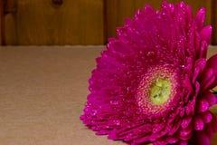 Pink gerbera on brown background Royalty Free Stock Image