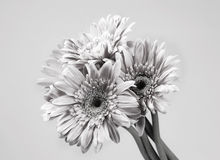 Pink gerbera bunch in black and white Stock Image