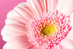 Pink gerbera Stock Photography