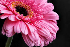 Pink gerbera closeup with water drops on petals, macro flower ph Royalty Free Stock Photography