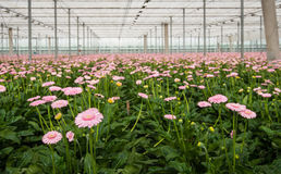 Pink Gerbera cultivation in a Dutch glasshouse Stock Photo