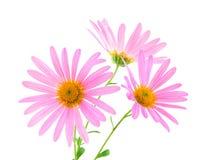Pink gerbera daisies Royalty Free Stock Image