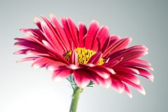 Pink gerbera daisies stock photo