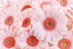 Pink gerbera daisies Royalty Free Stock Photography
