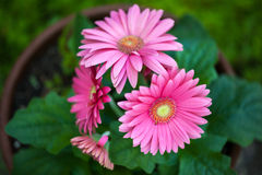 Pink gerbera daisies Stock Photos
