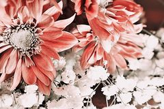 Pink gerbera daisies royalty free stock images