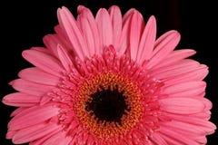 Pink gerbera daisy Stock Image