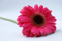 Pink gerbera daisy. With a light blue background Stock Photos