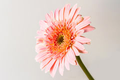 Pink gerbera daisy. Stock Photos