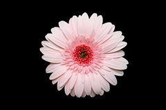 Pink gerbera daisy. Macro of a light pink gerbera isolated over black Royalty Free Stock Photography