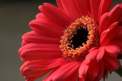 Pink Gerbera Daisy. Bright flower Royalty Free Stock Photo