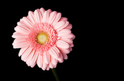 Pink gerbera daisy on black Stock Photography