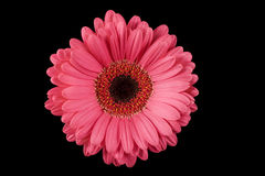 Pink Gerbera Daisy Black Background Royalty Free Stock Photos