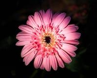 Pink gerbera Daisy on Black Royalty Free Stock Photos