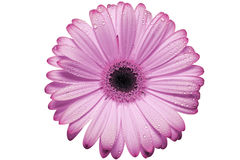 Pink gerbera daisy blossom Stock Image
