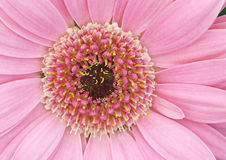 Pink Gerbera Daisy Royalty Free Stock Photography
