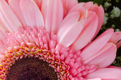 Pink Gerbera Daisy Close-up Top View, Lower Frame Side Royalty Free Stock Photography