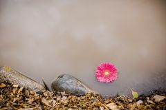 Pink gerbera daisy floating in a pond Royalty Free Stock Photo