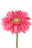 Pink gerbera daisy flower Royalty Free Stock Image