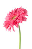 Pink gerbera daisy flower. Isolated on white background Royalty Free Stock Photo