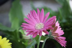 Pink gerberas in garden. A pink gerbera daisy in the flower bed in the garden royalty free stock images