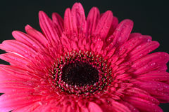 Pink gerbera daisy flower Royalty Free Stock Photos