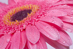 Pink gerbera daisy flower closeup Royalty Free Stock Image