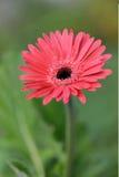 Pink Gerbera Daisy Royalty Free Stock Image