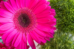 Pink gerbera daisy flower on a green spring background. Closeup of a pink gerbera daisy flower on a green spring background for women`s day, 8 March, card for Royalty Free Stock Photos