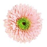 Pink Gerbera Daisy Stock Photography