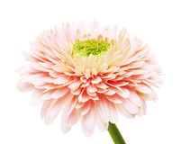 Pink Gerbera Daisy Royalty Free Stock Photography