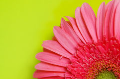 Pink gerbera daisy on green Stock Photography