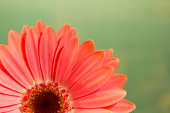 Pink gerbera daisy on green. Pink gerbera daisy flower on a solid green background Royalty Free Stock Image
