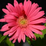 Pink Gerbera Daisy Stock Photography