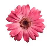Pink gerbera Royalty Free Stock Image