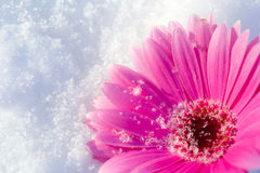 Pink gerbera daisy lying in the snow. A single pink gerbera daisy lying in a bed of fresh snow stock photo