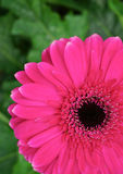 Pink gerbera daisy Royalty Free Stock Images
